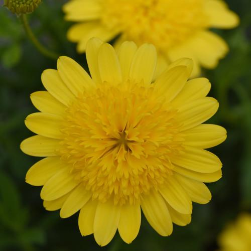 Osteospermum '4-D Yellow'