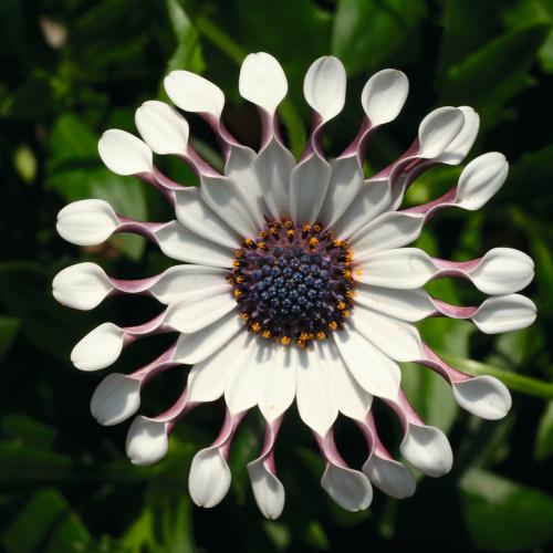 Osteospermum 'Flowerpower Spider White'