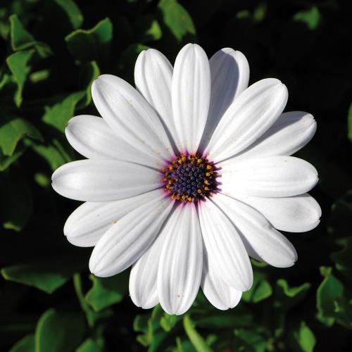 Osteospermum 'Flowerpower White'