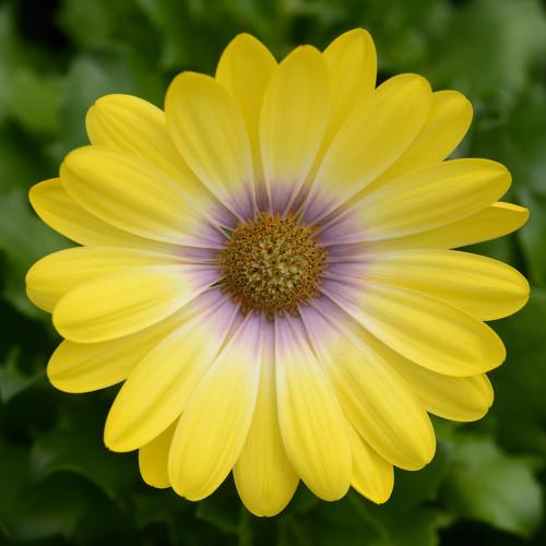 Osteospermum 'Zion Magic Yellow'