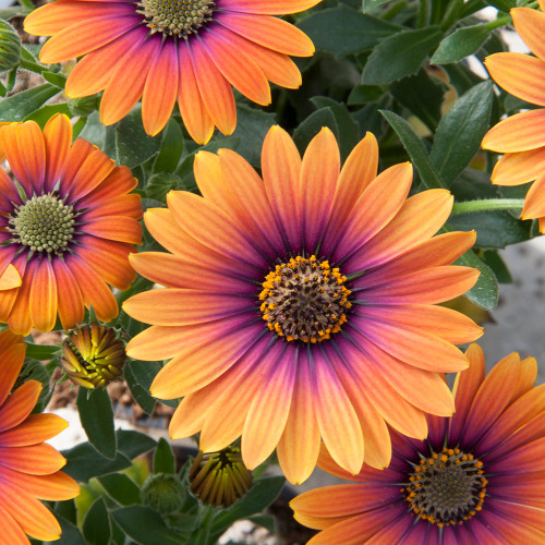 Osteospermum 'Zion Purple Sun'
