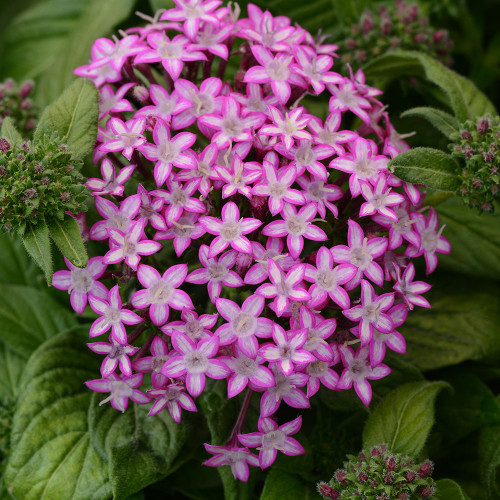 Pentas 'Glitterati Purple Star'