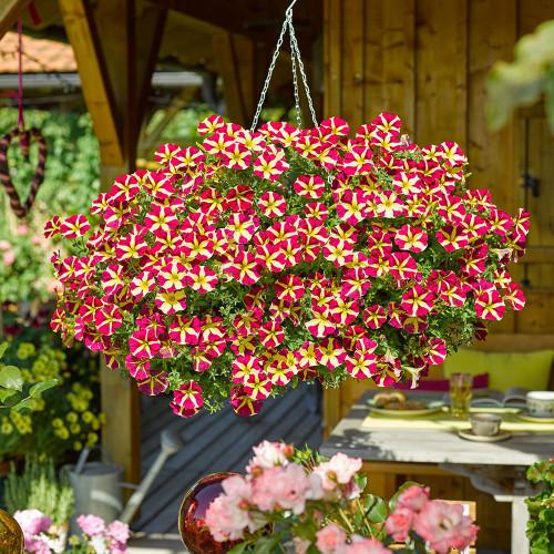 Petunia 'Amore Queen Of Hearts'