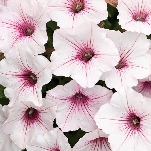 Petunia Supertunia Vista 'Silverberry'