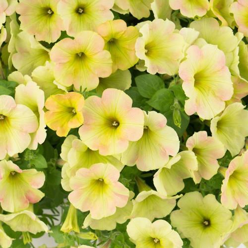 Petunia 'Surprise Lemon Frost'