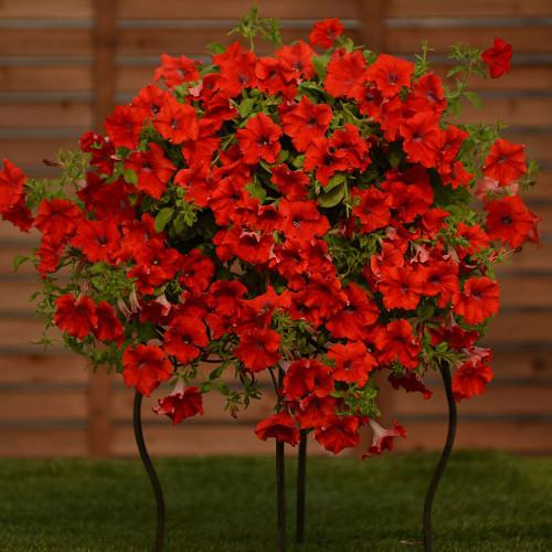 Petunia 'Surfinia Trailing Red'