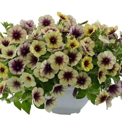 Petunia Vegetative Cascadias 'Autumn Mystery'