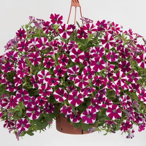 Petunia Vegetative Cascadias 'Bicolor Cabernet'