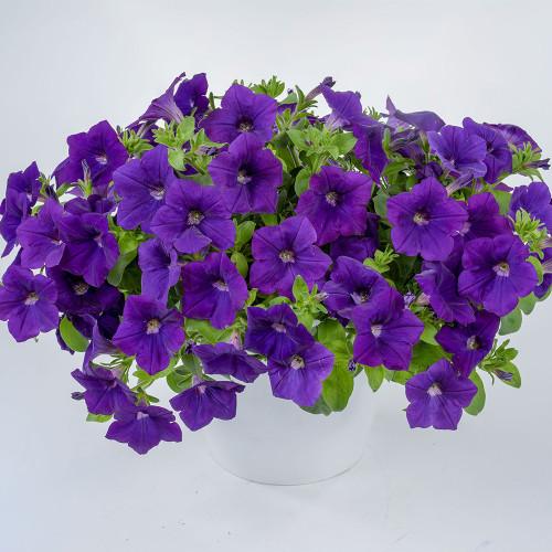 Petunia Vegetative Cascadias 'Blue Omri'