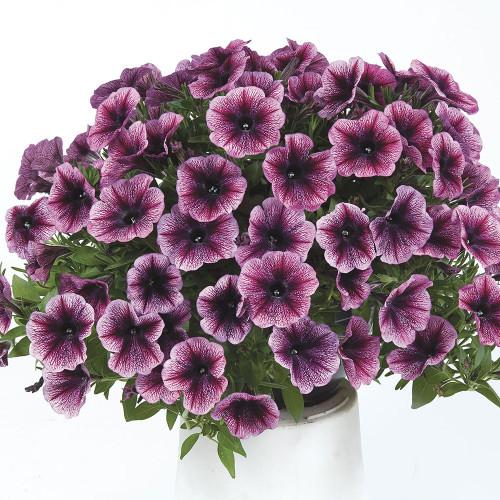 Petunia Vegetative Cascadias 'Purple Ice'