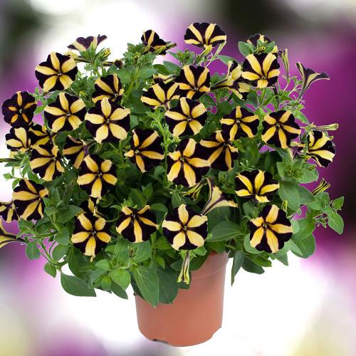 Petunia Vegetative 'Ray Sunflower'
