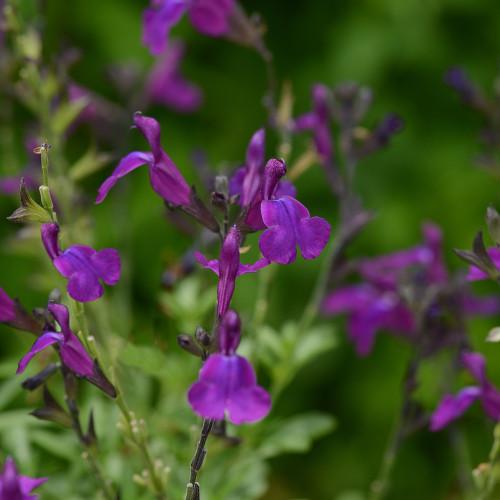 Salvia 'Mirage Deep Purple'