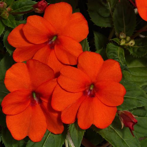 Sunpatiens 'Vigorous Orange'