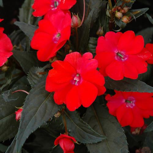 Sunpatiens 'Vigorous Red'