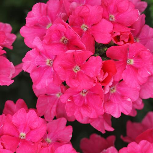 Verbena 'Estrella Pink'