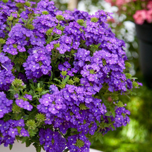 Verbena 'Estrella Upright Blueberry'