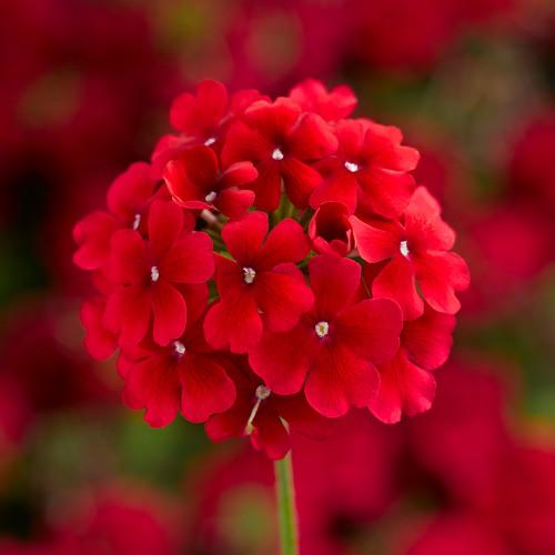 Verbena 'Lanai Early Dark Red'