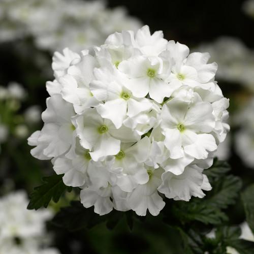 Verbena 'Lanai White'