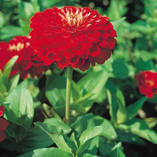 Zinnia 'Benary Giant Scarlet'
