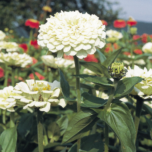 Zinnia Benary Giant 'White'