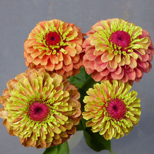Zinnia 'Queen Lime Orange'