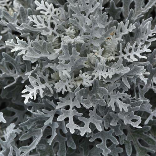 Jacobaea 'Silver Dust'