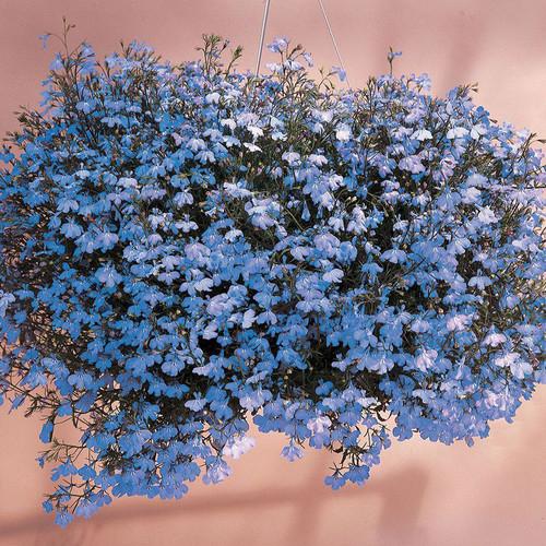 Lobelia 'Sky Blue'