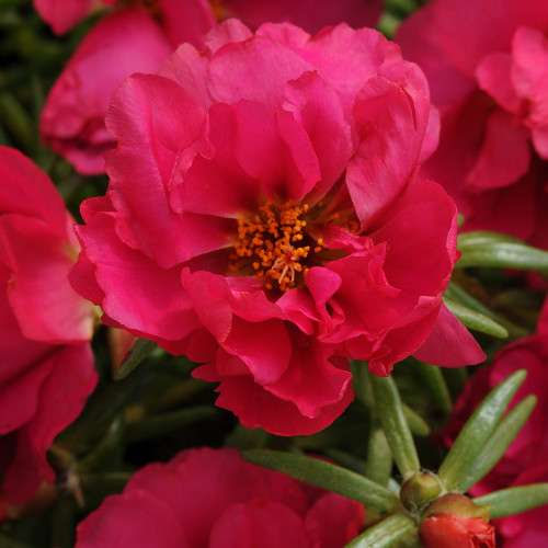 Oleracea 'Happy Hour Fuchsia'