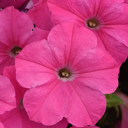 Petunia Spreading Easy Wave 'Neon Rose'