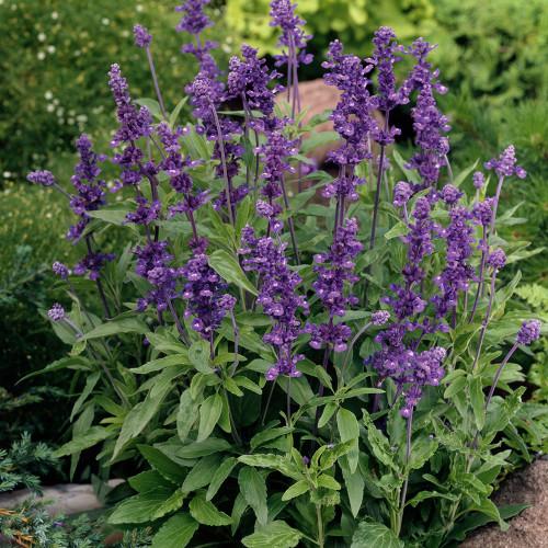 Salvia 'Evolution Violet Blue'