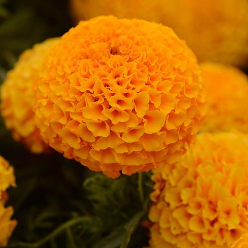 Tagetes 'Taishan Orange'