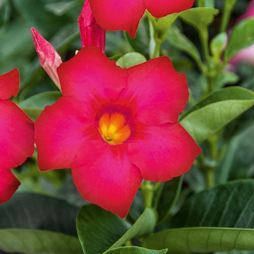 Mandevilla 'Bella Hot Pink'