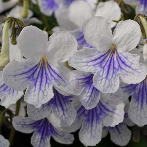 Streptocarpus 'Ladyslippers White Ice'