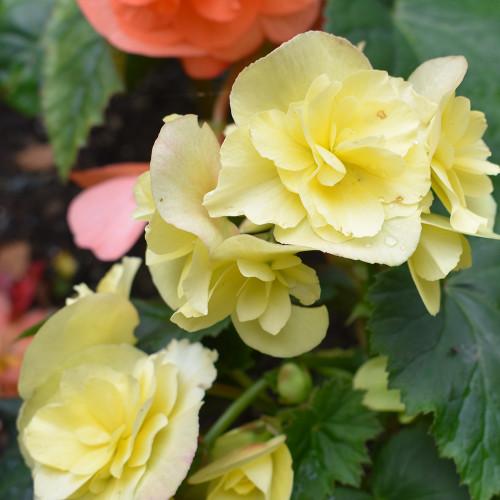 Begonia 'Solenia Yellow'