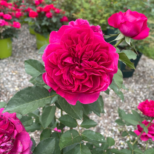 Rosa 'Darcy Bussell'