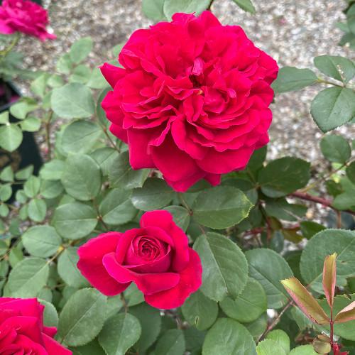 Rosa 'Tess of the d'Urbervilles'