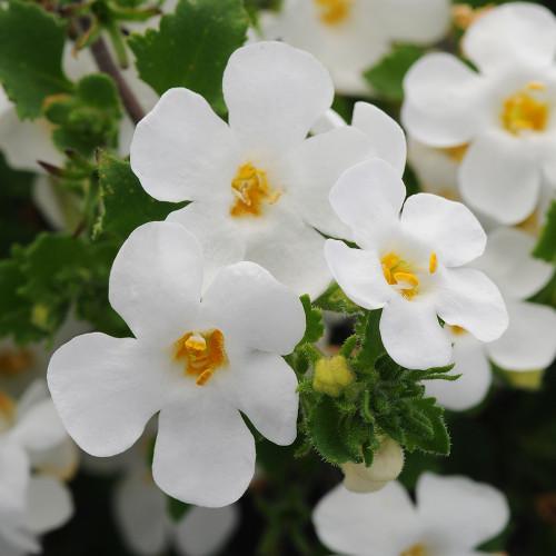Bacopa Scopia 'Gulliver White'