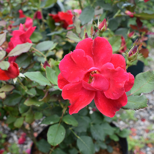 Rosa 'Miracle on the Hudson'