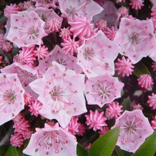 Kalmia latifolia 'Tinkerbell'