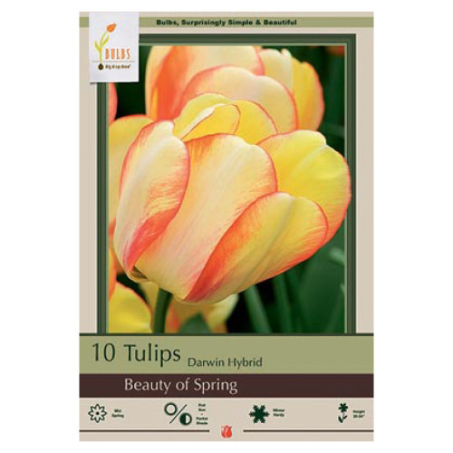 Tulip 'Beauty of Spring'