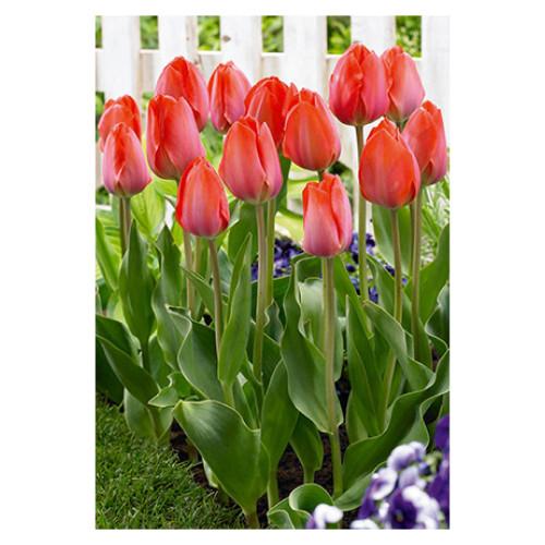 Tulip 'Orange Van Eijk'