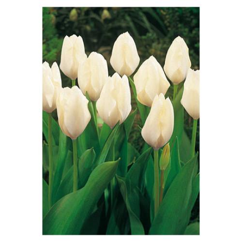 Tulip 'White Emperor