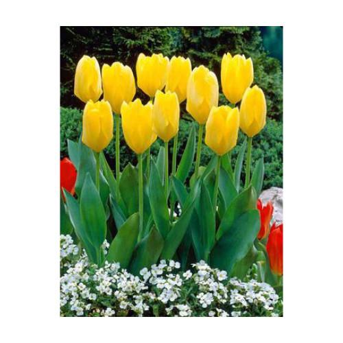 Tulip 'Yellow Emperor'