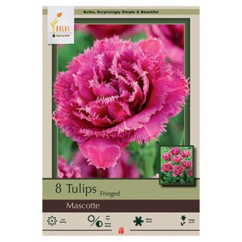 Tulip 'Mascotte'