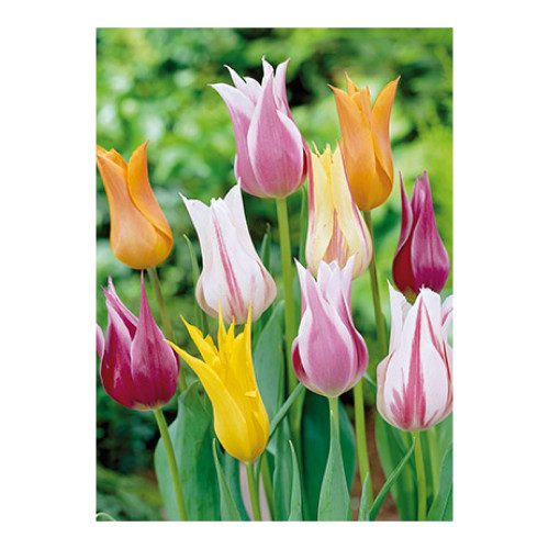 Tulip 'Lily Flowered Mixture'