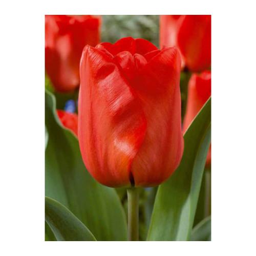 Tulip 'Red Impression'