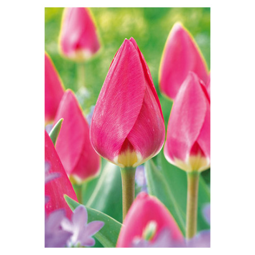 Tulip 'Rosy Delight'