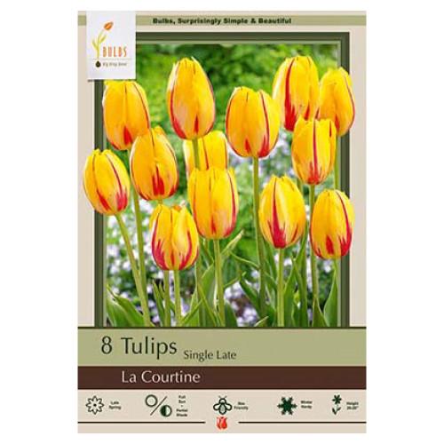 Tulip 'La Courtine'