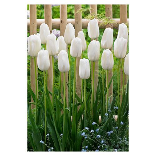 Tulip 'Snow White'