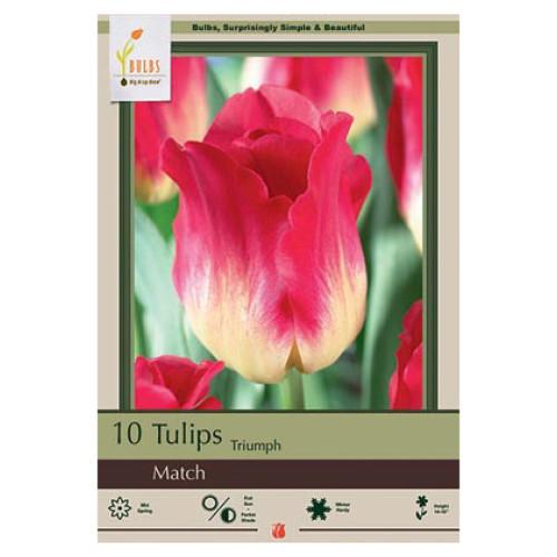 Tulip 'Match'